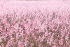 Pink meadow. In clear weather Royalty Free Stock Photos