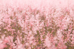 Pink meadow. In clear weather Stock Photography