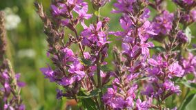 Pink meadow flower. Close-up. Lythrum salicaria, spiked loosestrife, purple loosestrife, or purple lythrum stock footage