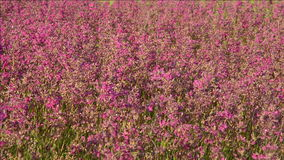 Pink meadow flowers. stock video footage