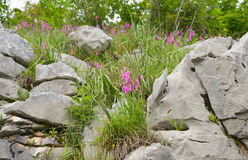 The pink meadow flowers at Montenegro. The pink meadow flowers growing among the rocks at Montenegro Stock Photo