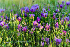 Pink meadow wild flowers on green grass closeup Stock Photography