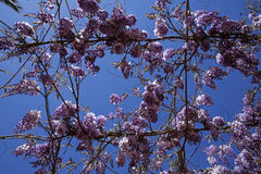 Pink mediterranean flowers against blue sky Royalty Free Stock Image