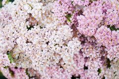 Pink milfoil flowers. Inflorescences of pink milfoil flowers as a background Royalty Free Stock Photos