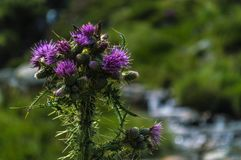A Pink Milk Thistle against a blurred background stock photography