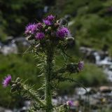 A Pink Milk Thistle against a blurred stream stock photo