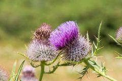 Pink milk thistle flower in bloom - close up stock photos