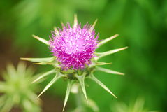 Pink milk thistle flower Stock Photos