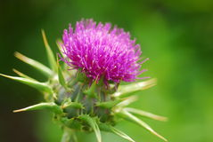 Pink milk thistle flower Royalty Free Stock Photos