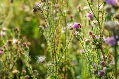 Pink milk thistle flowers in wild natur with bee collecting pollen, Silybum marianum herbal remedy, Saint Mary`s Thistle royalty free stock photography