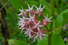 Pink Milkweed Blossoms in June royalty free stock images