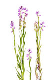 Pink milkwort isolated on white Royalty Free Stock Images