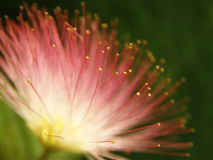 Pink mimosa bloom. Focus on yellow ends of bloom, shallow depth of field Stock Photos