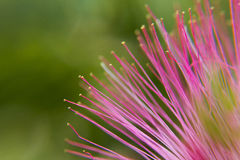 Pink Mimosa Tree flower Royalty Free Stock Images
