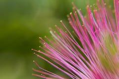 Pink Mimosa Tree flower. The pom pom flower of the pink mimosa tree Royalty Free Stock Images