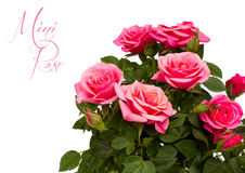 Pink mini rose isolated Stock Photos