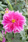 Pink mix purple dahlia. Royalty Free Stock Photos