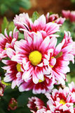 Pink mix white of Chrysanthemum flower are blooming. Stock Photo