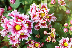 Pink mix white of Chrysanthemum flower are blooming. Stock Images