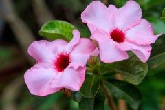 Pink Mock Azalea Stock Image