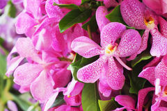 Pink mokara orchids Stock Photos