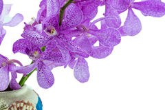 Pink mokara orchids in vase decorated with sea shells. Isolated Royalty Free Stock Images