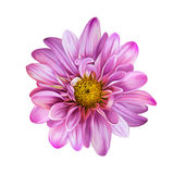 Pink Mona Lisa flower, flower Royalty Free Stock Images