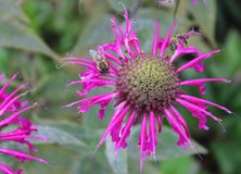 Pink monarda flower with bees Royalty Free Stock Photos