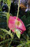 Pink moon flower in autumn royalty free stock image