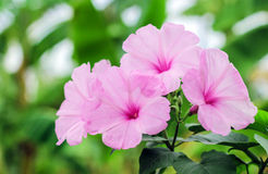 Pink morning glory beautiful flowers Royalty Free Stock Images
