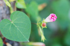 Pink Morning Glory with A Bud Royalty Free Stock Photography