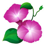 Pink morning glory flower with green leaves. Illustration stock illustration