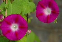 Pink morning glory flowers Stock Image