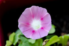 Pink morning glory. In a garden Stock Photography