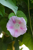 Pink morning glory 3. Pink morning glory in a garden Royalty Free Stock Images