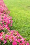 Pink Morning Glory Stock Photo