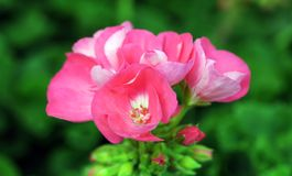 Pink mosaic. (zonal geranium) for ground cover in garden Royalty Free Stock Images