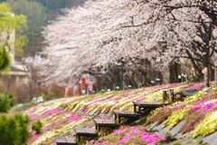 Pink moss field with cherry blossom tree in background Stock Image