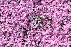 Pink moss phlox Royalty Free Stock Images