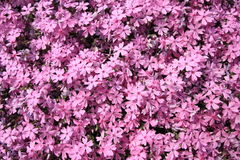 Pink moss phlox Stock Photo