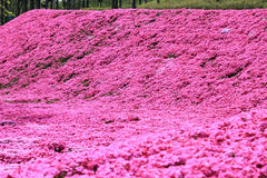 Pink moss phlox Stock Images