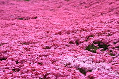 Pink moss phlox Royalty Free Stock Photography