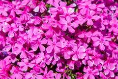 Pink moss phlox flowers Stock Photo