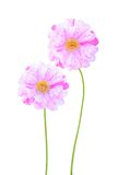 Pink moss rose flowers Royalty Free Stock Image