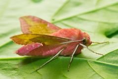 Pink moth Royalty Free Stock Photos