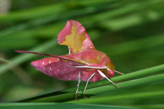 Pink moth (Deilephila porcellus) Royalty Free Stock Photography