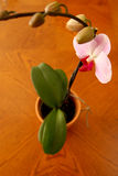 Pink Moth Orchid Royalty Free Stock Photo
