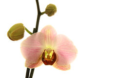 Pink Moth Orchid Royalty Free Stock Photos