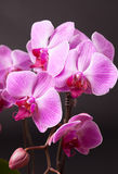 Pink moth orchid on black Stock Images