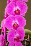 Pink Moth Orchid flower. Stock Photos